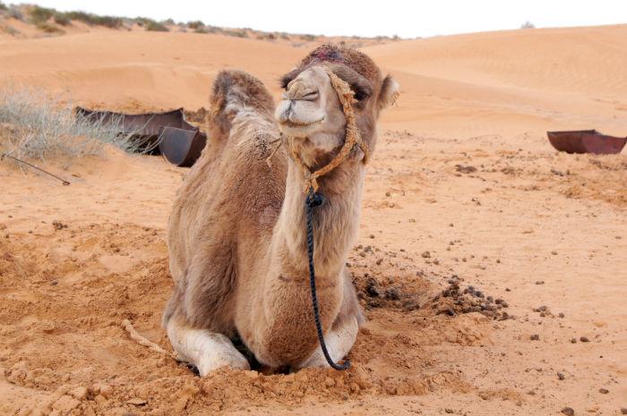 Djerba Reisetipps Kamel