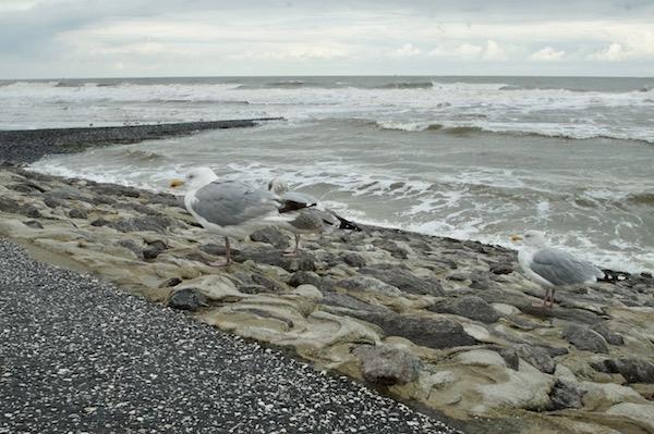 Insel-Norderney-Moewe-im-Regen